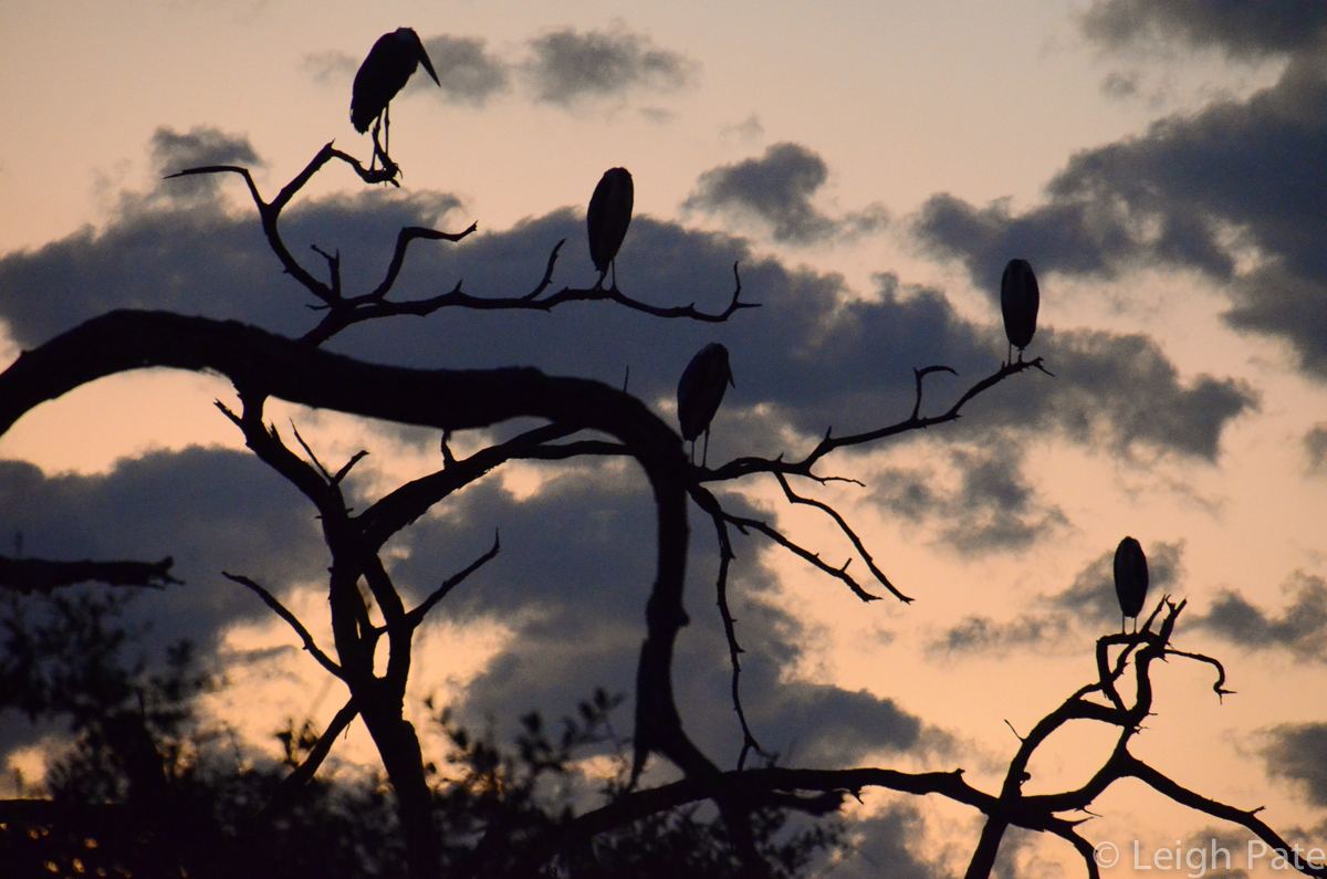 Maribu Storks Greet the Day, Chobe National Park, Botswana