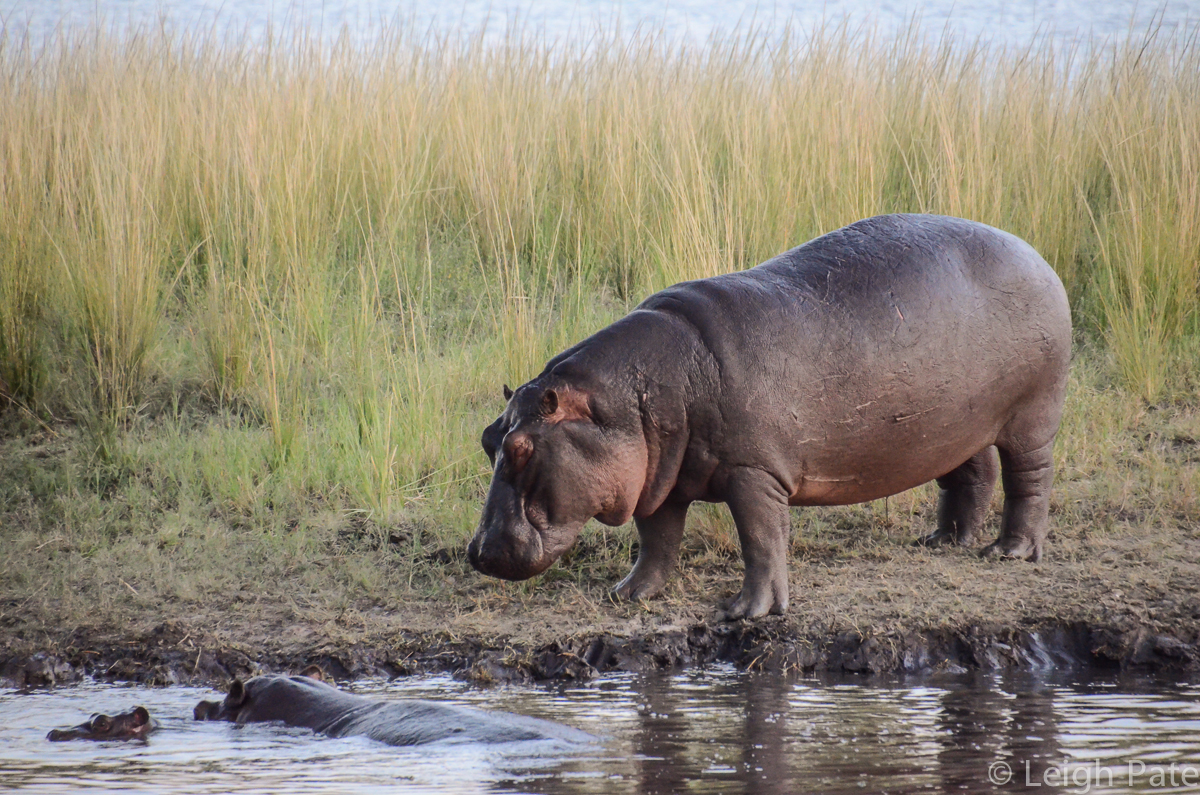 Mother Hippo Protects Her Calf
