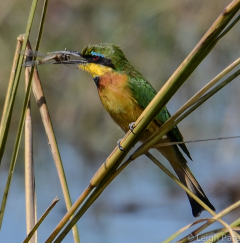 Bee Eater, Namibia