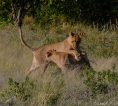 Lion Brothers Play, Chobe National Park, Botswana