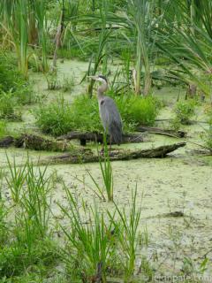 Heron, Erie Canal New York